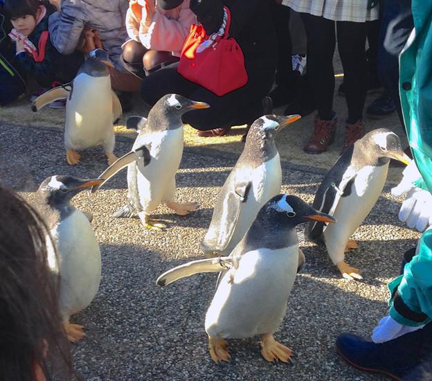 写真: 名古屋港水族館ペンギンよちよちウォーク 2013年12月 No - 24