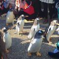 Photos: 名古屋港水族館ペンギンよちよちウォーク 2013年12月 No - 24