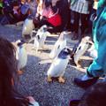 写真: 名古屋港水族館ペンギンよちよちウォーク 2013年12月 No - 25