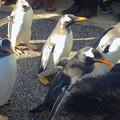 写真: 名古屋港水族館ペンギンよちよちウォーク 2013年12月 No - 26