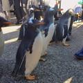 写真: 名古屋港水族館ペンギンよちよちウォーク 2013年12月 No - 28