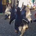 写真: 名古屋港水族館ペンギンよちよちウォーク 2013年12月 No - 30