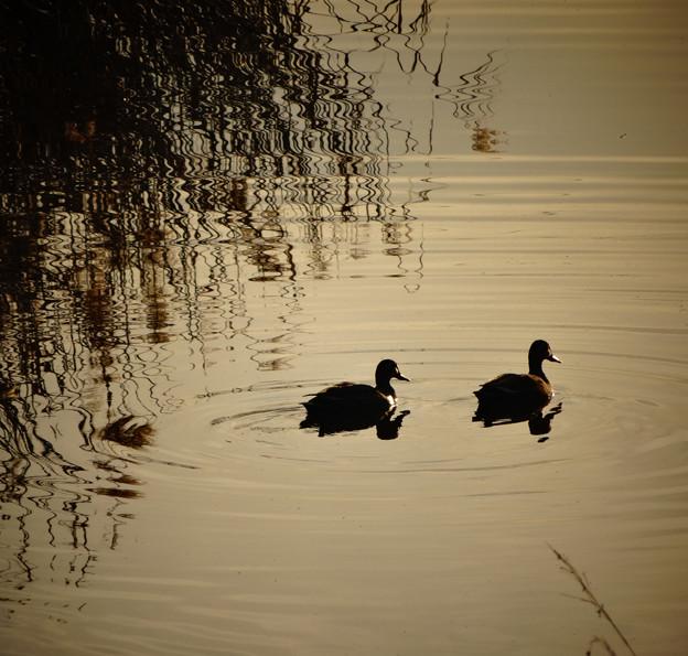 川を泳ぐカモの夫婦のシルエット - 2