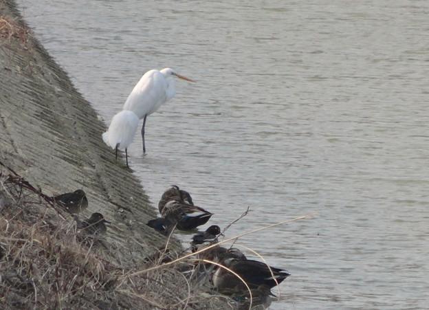 太良池の岸辺で休む、2羽のシラサギとカモの集団 - 2