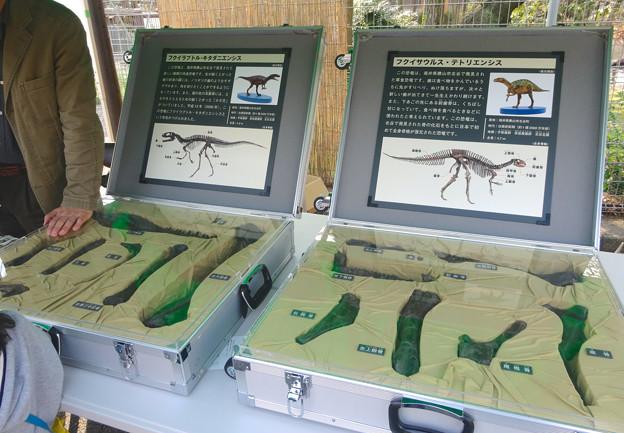 東山動植物園 春まつり 2014:福井県立恐竜博物館のPRブース - 02