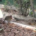 Photos: 東山動植物園 小鳥とリスの森 No - 03:コジュケイ