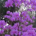 写真: 東山動植物園:コバノミツバツツジ - 8