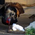グリーンピア春日井 No - 098:七面鳥とクジャクバト