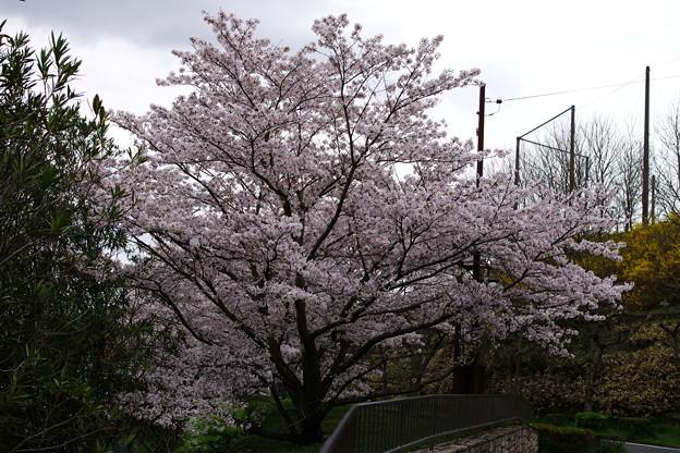 満開の2014年の桜