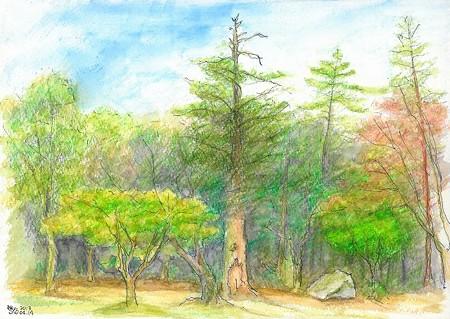 20130414宮島の杉