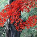 孤高の紅葉