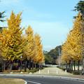 城山公園銀杏並木