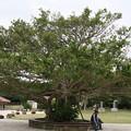 首里城 がじゅまるの木
