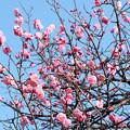春空にそびえる梅花