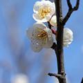 二ノ丸庭園 白梅