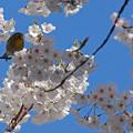 桜の中で!
