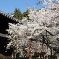 うば桜と大宝寺