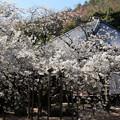 うば桜正面