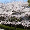 キングオブ桜
