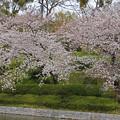 城山公園 外堀土手桜
