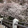 外堀土手のソメイヨシノ桜