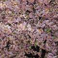カンザシ(ぼたん桜)