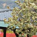 ウコン(八重桜)