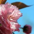 カンザシ(八重桜)