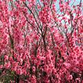 満開の花桃
