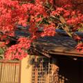 夕日の中の紅葉