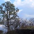 春を待つ立木