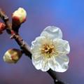 春に咲いて