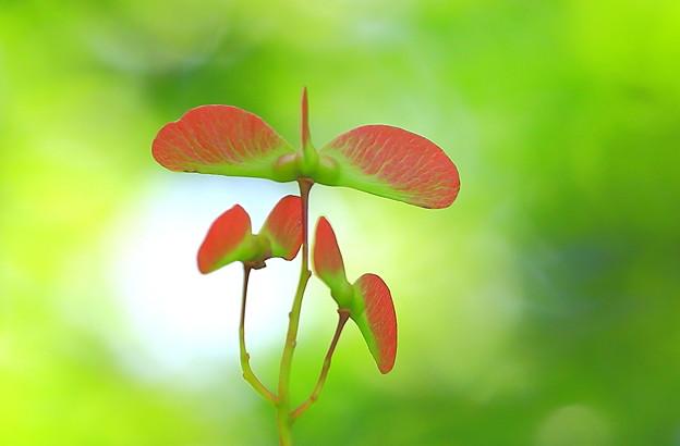 楓の赤い実