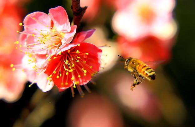梅の花とハチ
