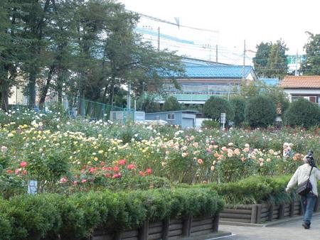 与野公園のバラ (43)