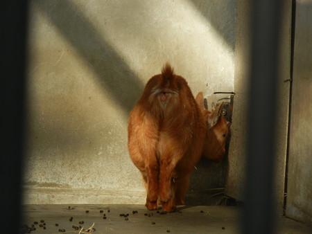 ヤクシマヤギさん、おしり見えてますけど