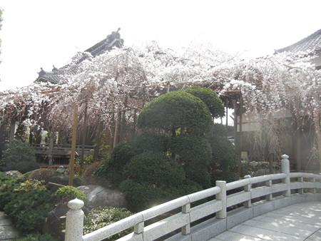 玉蔵院の枝垂れ桜