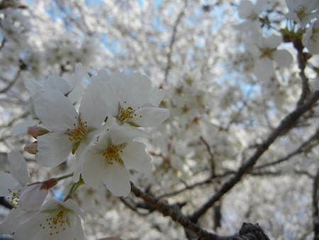 与野公園の桜 (8)