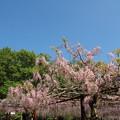 Photos: 藤公園_13-05-05_050