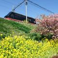 菜の花と河津桜と黒船電車