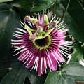 エジンバラの花(スコットランド)