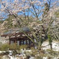 桜の花と雪