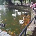 白鳥と鯉の戯れ!
