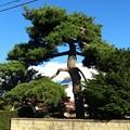 樹齢300年以上の松【我家の隣】