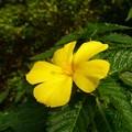 写真: 黄色のハイビスカス