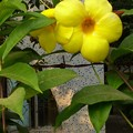 黄色いハマナスの花?