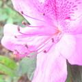 さつきの花弁