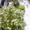 ホンコンエンシスの花 花 花。。。