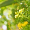 Photos: セダムの花 きらり。。。