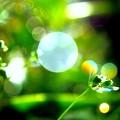 Euphorbia........